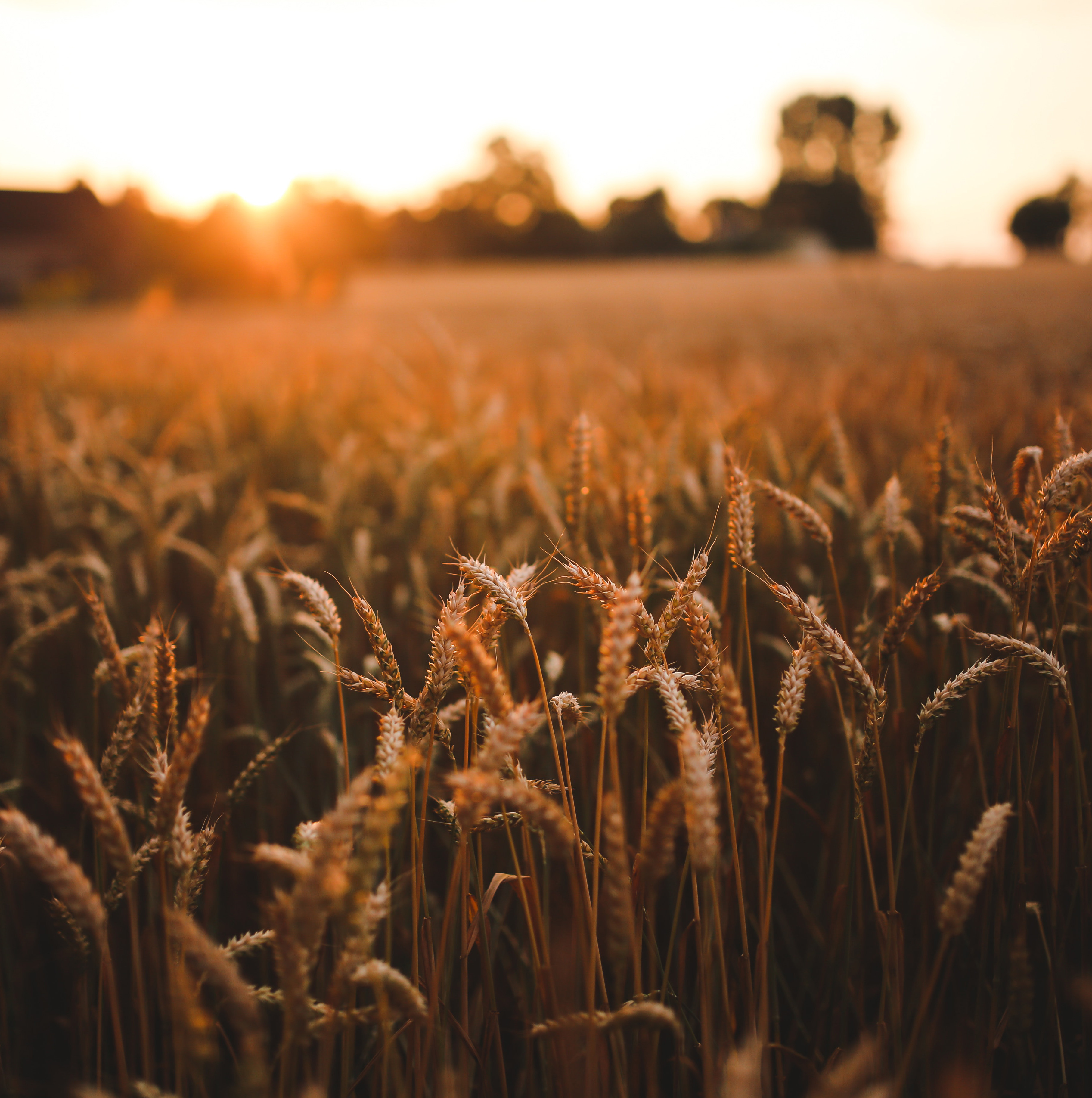 agriculture-field-grain-5980